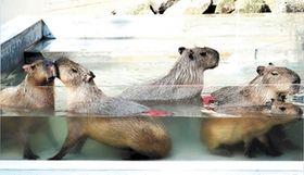 <大森山動物園>カピバラ、いい湯だな お風呂改修でゆったり