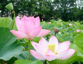 今夏リニューアルし、12種類の大輪が咲き誇るハス田=18日、平塚市寺田縄の県立花と緑のふれあいセンター「花菜ガーデン」
