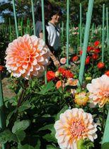 見頃を迎えたダリアの花(滋賀県日野町鎌掛・日野ダリア園)