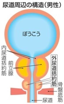 男性尿失禁に再生医療 尿道括約筋に幹細胞注入 国内治験が終了