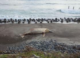 浜岡原発の敷地内の海岸に漂着した体長約7メートルのクジラの死骸=18日(中部電力提供)