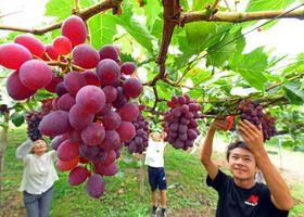 大きく育ったサニールージュを収穫する田村喜市さんの家族=22日、紫波町赤沢