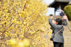 参道沿いにかれんな黄色い花を咲かせているロウバイ=三豊市豊中町、延命院