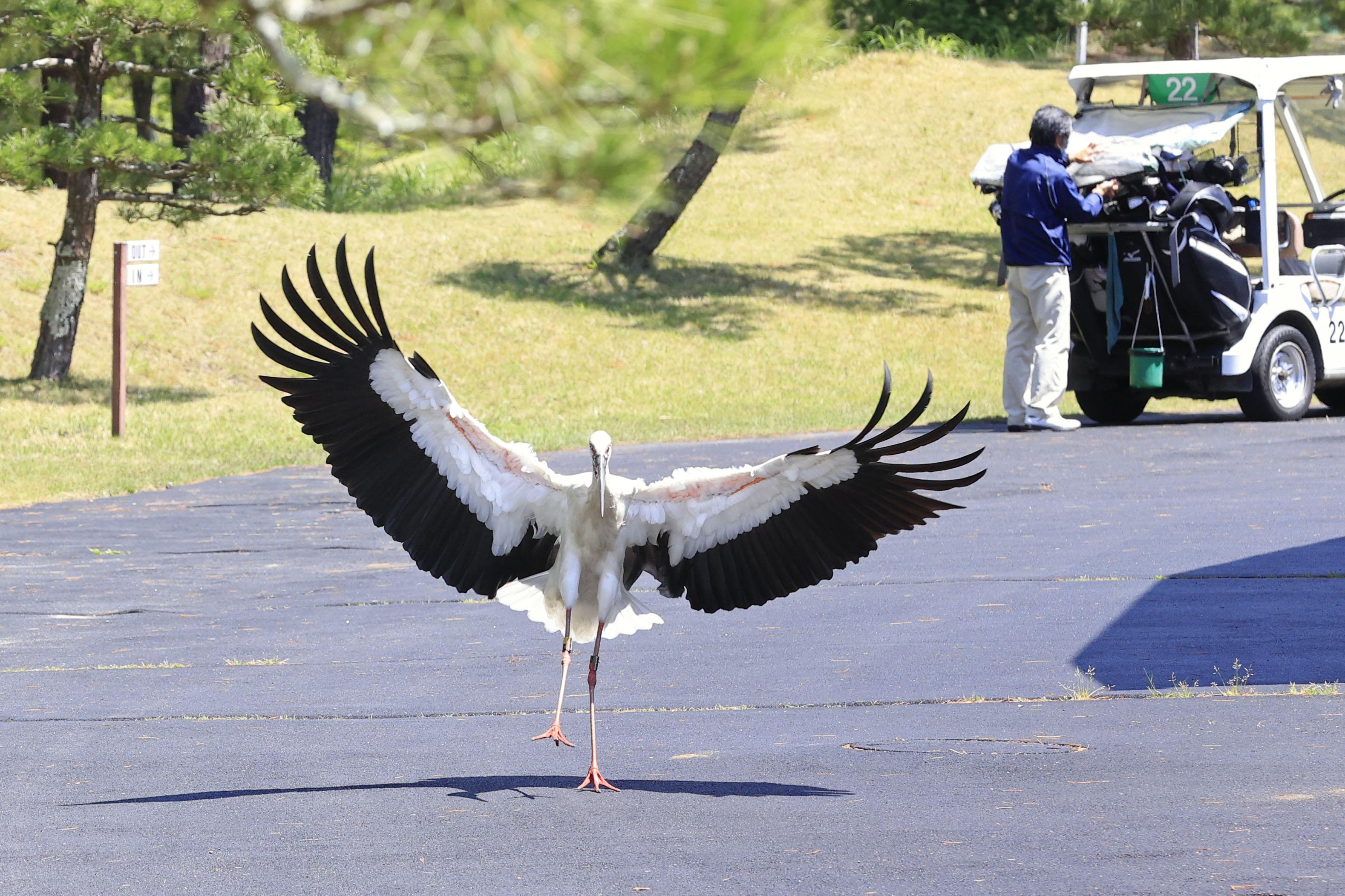 宮城県川崎町のゴルフ場で、カートのそばで翼を広げるコウノトリ「きずな」=27日