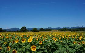 『鬼の窟古墳』の周りを約100万本のヒマワリが咲き誇ります。 今年は7月中旬の開花予定です。