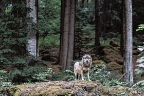 オランダで定住しているとみられるオオカミ。普段は、雑木林と森などで生活しているという(C)iStock