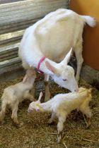 生まれたばかりの赤ちゃんをなめるお母さんヤギ(南丹市園部町大河内・るり渓やぎ農園)