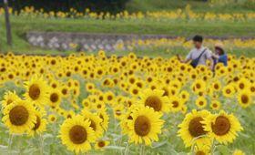のどかな田園地帯を黄色く染めるヒマワリ=まんのう町帆山