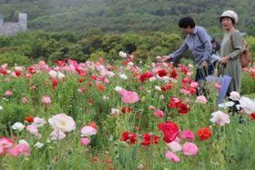初夏の風に吹かれながら咲き誇るシャーレポピー=国営明石海峡公園