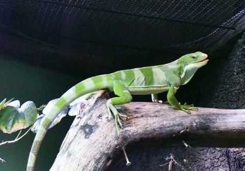 (547)緑の体に水色のおび ヒロオビフィジーイグアナ