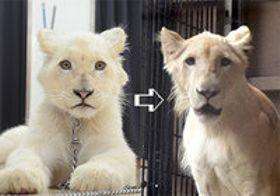 ホワイトライオンの「セラム」1歳に 沖縄こどもの国 体重1.4キロ→92キロ
