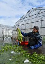 セリの育ち具合を確認しながら丁寧に収穫する山田秀樹さん=13日、弘前市一町田