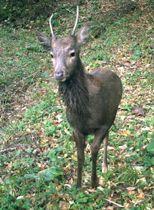 青森県深浦町の国有林で監視カメラが撮影したニホンジカ=2017年10月(東北森林管理局提供)