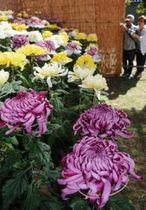 色鮮やかな花びらが秋の訪れを告げる菊花展=相楽園
