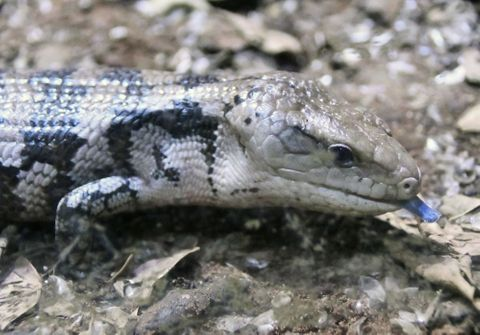 (555)青い舌に二つの役割 アオジタトカゲ