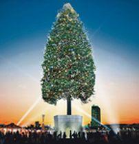 氷見の巨木、世界一に貢献 神戸のXマスツリーに