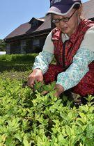 北牧場の畑でスペアミントの葉を収穫する小田さん=東北町