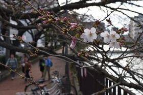 開花した大岡川沿いのソメイヨシノ=横浜市中区末吉町の太田橋付近