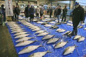 氷見漁港に並ぶ寒ブリ=1日、富山県氷見市