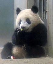 リンゴを食べるジャイアントパンダのシャンシャン=21日、東京・上野動物園(東京動物園協会提供)
