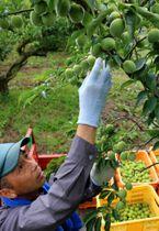 たわわに実った梅の収穫作業が進む梅林(大津市大石龍門4丁目・寿長生の郷)