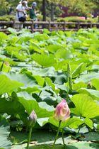 少しずつ咲き始めている猿賀公園のハスの花