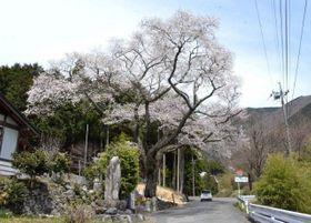 満開を迎えた道仙寺護摩堂の桜