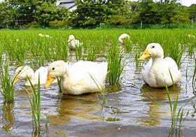 水田を泳ぎ回るアヒル=広野町