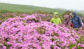 万年山の山開きがあった19日、あいにくの雨となったが6分咲きのミヤマキリシマが登山者を出迎えた