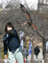 姫路城で披露された「フライトショー」で、飼育員の手から飛び立つタカ=13日午前
