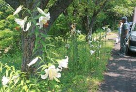 甘い香りを漂わせ一帯に群生しているヤマユリ=18日、見附市杉沢町