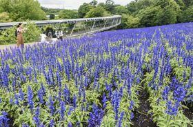 「とっとり花回廊」でほぼ満開となったブルーサルビア=23日、鳥取県南部町