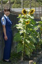 和歌山県警白浜署の花壇で大きな花を咲かせている、交通事故の犠牲となった男児のヒマワリ=11日