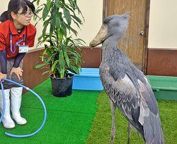 13日から一般公開されるハシビロコウ=松江市大垣町、松江フォーゲルパーク