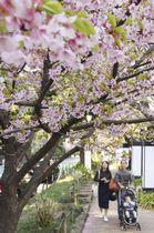 ぽかぽか陽気の東京・千鳥ケ淵で、花を見上げて歩く人たち=20日午後