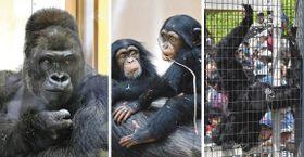 <左>ゴリラのシャバーニ、<中>チンパンジーのカラン(左)とコエ、<右>フクロテナガザルのケイジ=いずれも名古屋市千種区の東山動植物園で