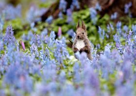 見頃を迎えたエゾエンゴサクとカタクリの花畑で、愛らしい姿を見せるエゾリス=25日早朝、北海道浦臼町