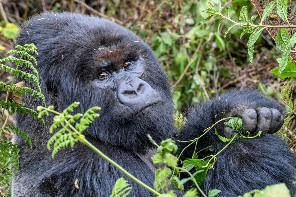 火山国立公園のゴリラの群れで最大数を誇るパブロ・グループには5頭のシルバーバックがおり、森が最も気になるグループ。写真はグループでナンバー2のギチュラシ。最近、トップの雄の座を脅かしつつある=ルワンダ北西部(撮影・中野智明、共同)