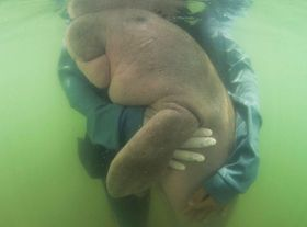 タイのリボン島で、担当者に抱きしめられるジュゴンの赤ちゃんのマリアム=5月(SIRACHAI ARUNRUGSTICHAI氏提供・AP=共同)
