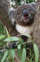 英国の動物園に貸し出すことが決まった雄のコアラ「アーク」(天王寺動物園提供)