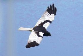 福江島に飛来したマダラチュウヒ。白と黒の模様が特徴的でファンも多い=五島市岐宿町(吉田竜成さん撮影)