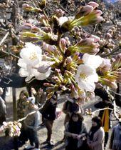 東京・靖国神社境内で開花した標本木のソメイヨシノ=17日午後