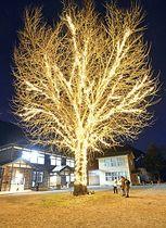 イルミネーションが点灯し黄金色に輝く大イチョウと周辺=21日午後5時25分、昭和村・喰丸小