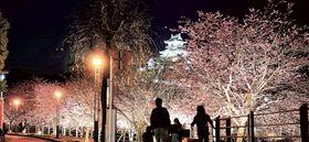 ライトアップされた掛川桜と天守閣=掛川市城下