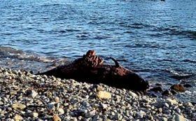 打ち上げられたアカボウクジラの死骸=19日午後4時50分、南伊豆町湊の逢ケ浜海岸