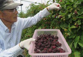 色濃く熟したアドベリーを収穫する福井さん(高島市安曇川常磐木)