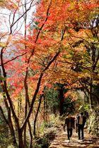 赤や黄色に色づき、見頃を迎えた面河渓の紅葉