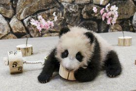 生まれて3カ月余りとなったジャイアントパンダの赤ちゃん=3日、和歌山県白浜町(アドベンチャーワールド提供)