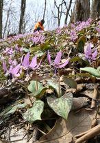 薄紫色の花が見頃を迎えるカタクリ=27日、長岡市宮本東方町の国営越後丘陵公園