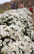 咲き誇る純白のノジギク=姫路市大塩町